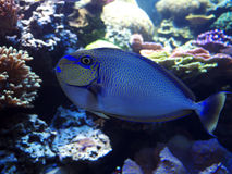 Blue Tropical fish and corrals. Wonderful blue tropical fish with a beautiful corrals around Royalty Free Stock Photo