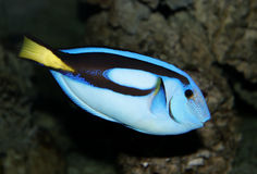 Blue tropical fish portrait Royalty Free Stock Images