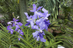 Blue Tropical Orchid. Beautiful unusual blue colored Tropical Orchid Flowers Stock Photos