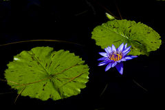 Blue Tropical Water Lily Royalty Free Stock Photography