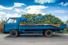 A blue truck carrying bananas. Fully loaded blue lorry carrying green bananas Royalty Free Stock Image