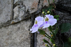 Blue Trumpet Vine. Also known as Thunbergia grandiflora, with wall background. Three flowers are beautiful Stock Image