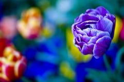 Blue tulip flower Royalty Free Stock Photo