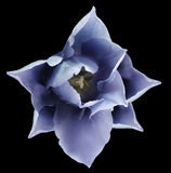 Blue tulip flower.  Black isolated background with clipping path.   Closeup.  no shadows.  For design. Nature Stock Image