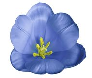 Blue tulip  flower on isolated  white  background with clipping path without shadows. Close-up. For design. Nature Stock Image