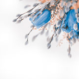 Blue tulips with mimosa, spring Stock Photo