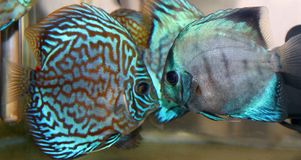 Blue turquoise discus Stock Photo