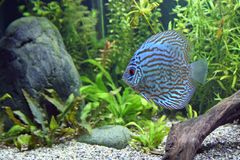 Blue Turquoise Discus Fish. A Blue Turquoise Discus, tropical aquarium fishswimming in an aquarium.  Space for copy Stock Image