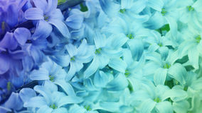 Blue-turquoise  flowers lilac.  floral background.  floral  wallpaper for design. Royalty Free Stock Photos