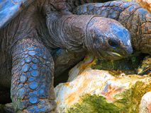 Blue turtle on rock. A blue turtle climbing a rock Royalty Free Stock Photo
