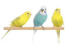 Blue and two yellow budgerigars on a branch Stock Photo
