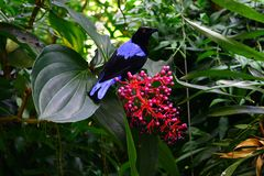 Black- and blue-feathered bird sitting on a pink fruit with green leaves in an exotic jungle setting royalty free stock image