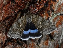 The Blue Underwing Royalty Free Stock Images