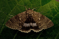 The Blue Underwing  Catocala fraxini Royalty Free Stock Images