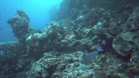 Blue unicorn Naso caeruleacauda in coral of Red sea Sudan. Shaab Rumi stock video footage