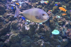 Blue unicornfish Royalty Free Stock Photo