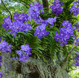Blue vanda Stock Photography
