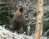 blue variant of a rooster of the breed Hedemora, in winterland