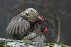 Blue hens mating on rocks stock image