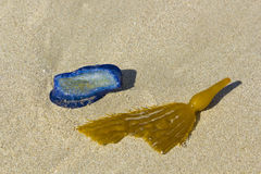 Blue Velella velella and Kelp Blade with Bladder Royalty Free Stock Image