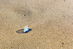 Blue Velella-Velella on Sand Royalty Free Stock Photo