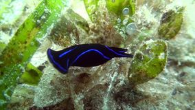 Blue velvet headshield slug Chelidonura varians nudibranch stock video