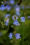 Blue Veronica flowers on a field Royalty Free Stock Photography