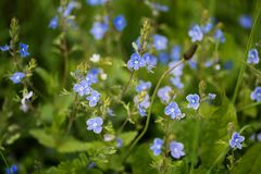 Blue Veronica flowers on a field Royalty Free Stock Image