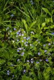 Blue Veronica flowers on a field Stock Photos