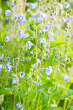 Blue Veronica flowers, macro, selective focus Stock Images