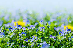 Blue Veronica flowers Royalty Free Stock Image