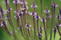 Blue Vervain Flowers. Blue Vervain (Verbena hastata) is a wildflower of wetland, lake shores, and stream sides Stock Photos