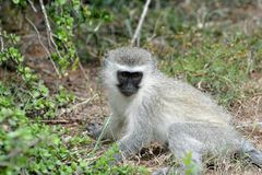 Blue Vervet monkey Royalty Free Stock Photo