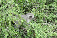 Blue Vervet monkey in Spekboom tree Royalty Free Stock Images