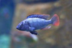 Blue Victoria Mouthbrooder (Haplochromis nubilus) Stock Photography