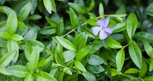 Blue vinca flower and green vinca leaves Stock Photos