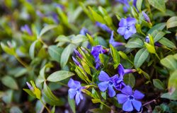 Blue vinca flowers and green vinca leaves royalty free stock photos