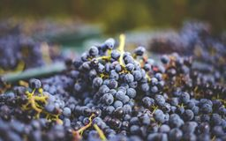 Blue grapes / Cabernet Franc grape in autumn season. Blue vine grapes. Grapes for making ice wine. Detailed view of a frozen grape vines in a vineyard in autumn royalty free stock photos
