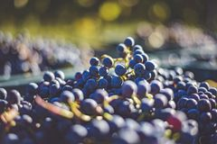 Blue grapes / Cabernet Franc grape in autumn season Royalty Free Stock Images