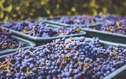 Blue grapes / Cabernet Franc grape in autumn season Royalty Free Stock Photo