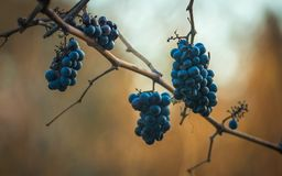 Blue grapes / Cabernet Franc grape in autumn season Royalty Free Stock Image