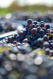 Blue vine grapes in the harvesting time. Grapes for making wine. Blue vine grapes. Grapes for making wine. Detailed view of Cabernet Franc blue grape vines in royalty free stock photo