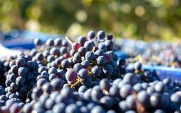 Blue vine grapes in the harvesting time. Grapes for making wine. Blue vine grapes. Grapes for making wine. Detailed view of Cabernet Franc blue grape vines in stock photography