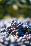 Blue vine grapes in the harvesting time. Grapes for making wine. Blue vine grapes. Grapes for making wine. Detailed view of Cabernet Franc blue grape vines in royalty free stock photos