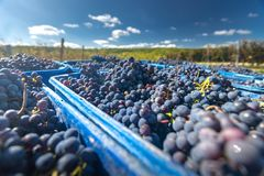 Blue vine grapes in the harvesting time. Grapes for making wine. Blue vine grapes. Grapes for making wine. Detailed view of Cabernet Franc blue grape vines in stock photos