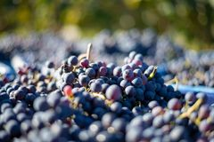 Blue vine grapes in the harvesting time. Grapes for making wine. Blue vine grapes. Grapes for making wine. Detailed view of Cabernet Franc blue grape vines in stock image