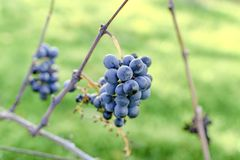 Blue vine grapes. Grapes for making ice wine. Detailed view of a frozen grape vines in a vineyard in autumn. stock photo