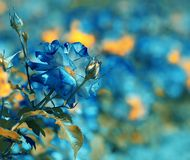 Blue vintage Rosebush in the garden Royalty Free Stock Image