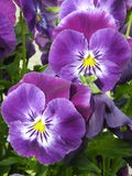 Blue viola Royalty Free Stock Images
