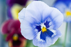 Blue Viola Stock Photo